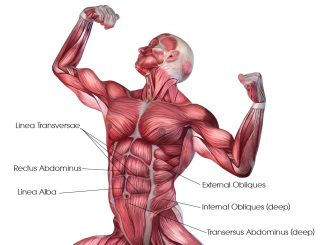 abdominals-muscle